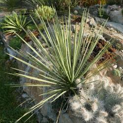 Yucca angustissima LZ 2074, Palmlilien vom Yuccashop -