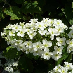 Hydrangea quercifolia 'Snowflake', Eichenblatthortensie, Yuccashop -