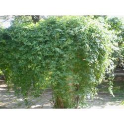 Ampelopsis aconitifolia, eisenhutblättrige Scheinrebe vom Yuccashop -