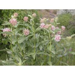 Asclepias speciosa, Prächtige Seidenpflanze im Yuccashop kaufen -