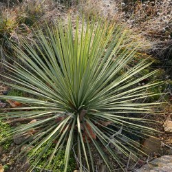 Yucca Hybride GG 050, Pflanzen für besondere Gärten, Yuccashop -