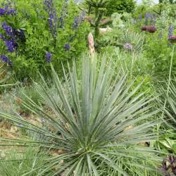Yucca Hybride GG 065, Pflanzen für besondere Gärten, Yuccashop -