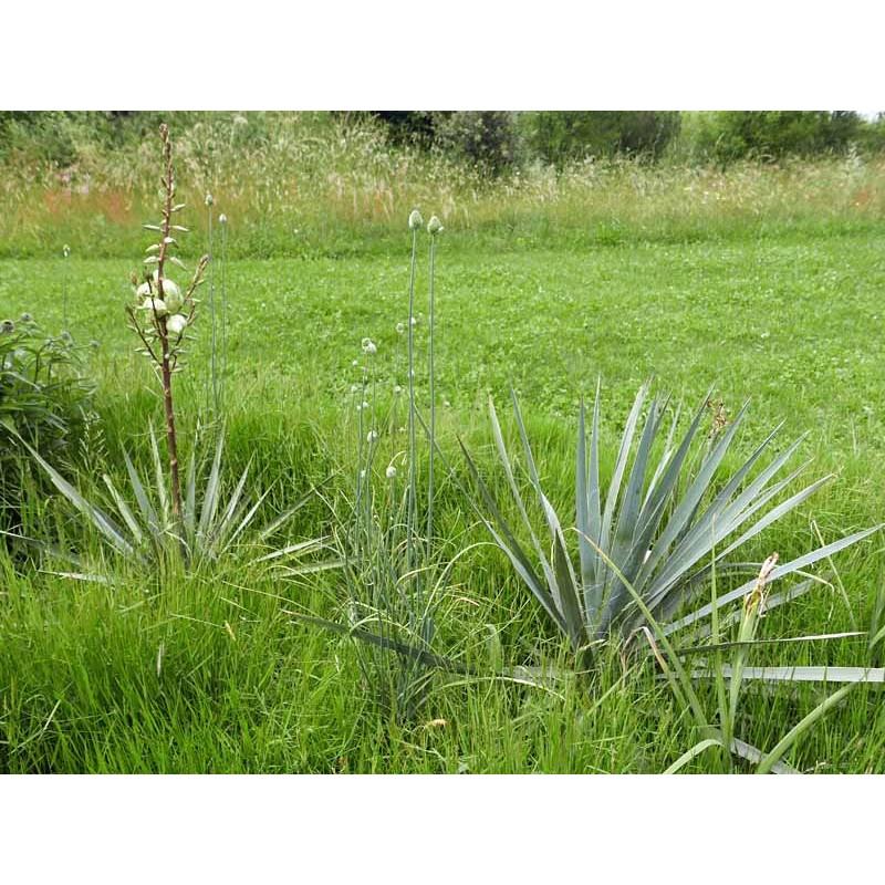 Yucca Hybride GG 081, Pflanzen für besondere Gärten, Yuccashop -