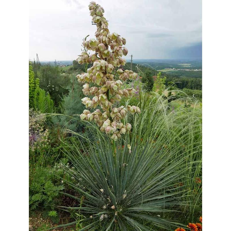 Yucca Hybride GG 086, Pflanzen für besondere Gärten, Yuccashop
