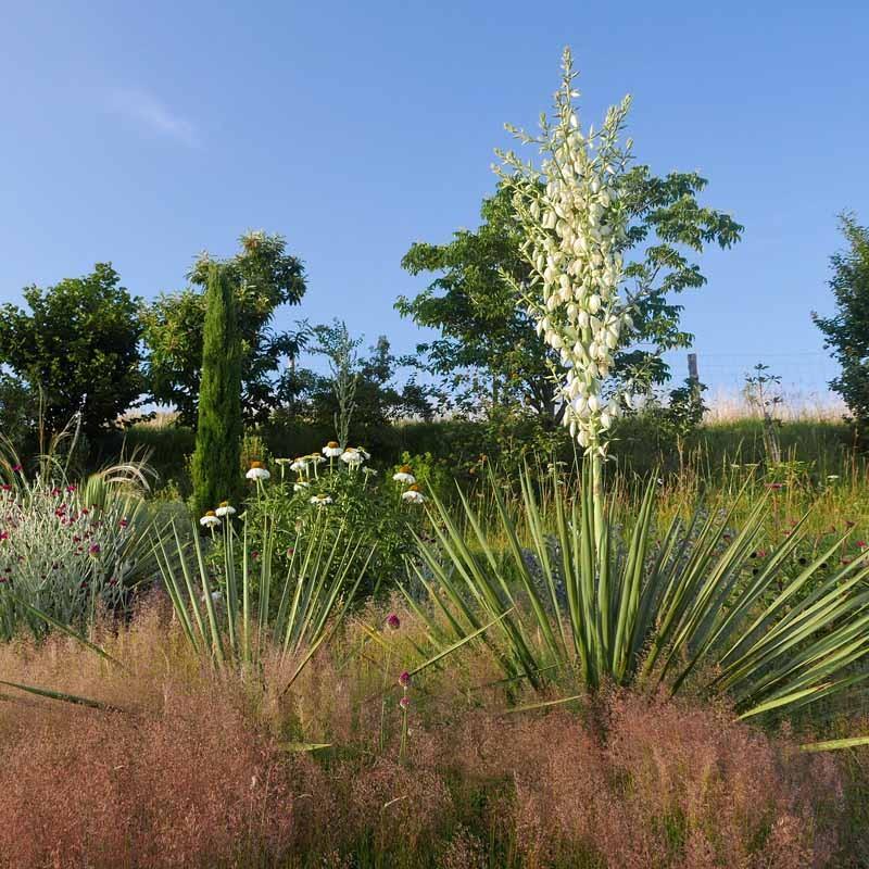 Yucca Hybride GG 096, Pflanzen für besondere Gärten, Yuccashop