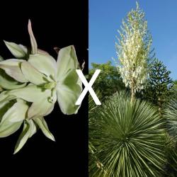 Yucca Hybrid GG 167, Pflanzen für besondere Gärten, Yuccashop -