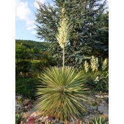 Yucca elata [Grant Co., NM], Palmlilien vom Yuccashop -