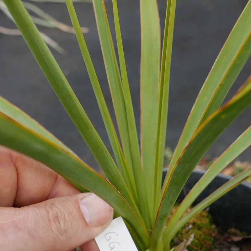 Yucca Hybride GG 130, Pflanzen für besondere Gärten, Yuccashop -
