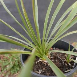 Yucca Hybride GG 104, Pflanzen für besondere Gärten, Yuccashop -