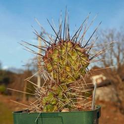 Opuntia ''schwarze Dornen'', Feigenkaktus vom Yuccashop -