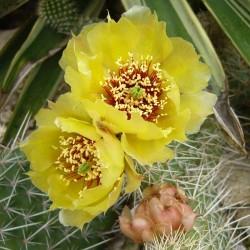 Opuntia 'Franz Schenk', Feigenkakteen vom Yuccashop -