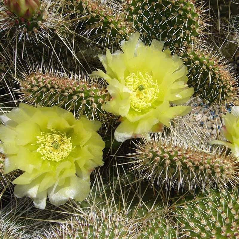 Opuntia hystricina 'Halle', Kakteen vom Yuccashop -