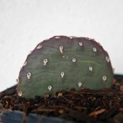 Opuntia 'Coombe's Winter Glow', 'Bieberschwanz-Kaktus' vom Yuccashop -