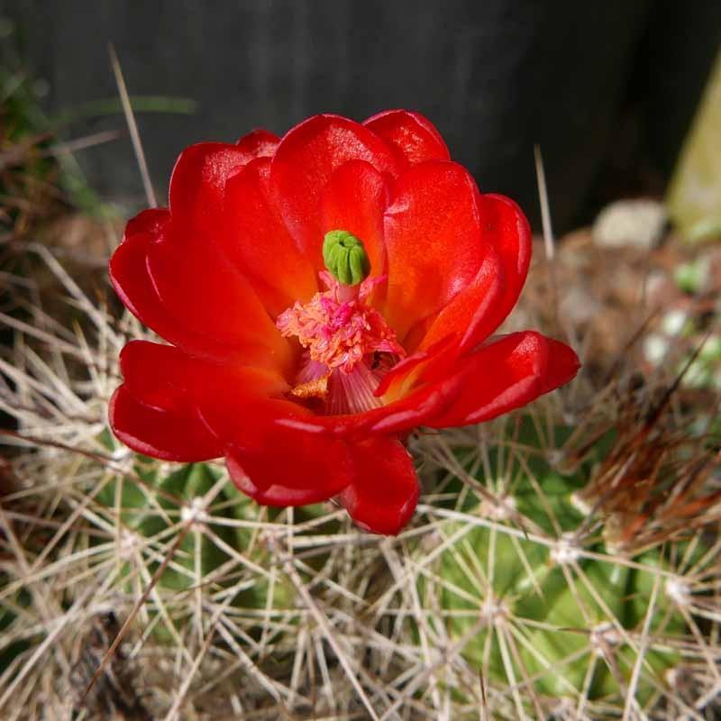 Echinocereus coccineus ''Rot'', Kakteen im Yuccashop kaufen -