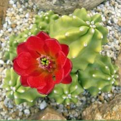 Echinocereus triglochidiatus f. inermis vom Yuccashop -