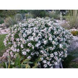 Daphne x transatlantica 'Eternal Fragrance', Seidelbast vom Yuccashop -