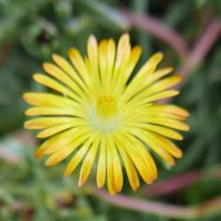 Delosperma ''Wonderful Sun'', Mittagsblumen vom Yuccashop -