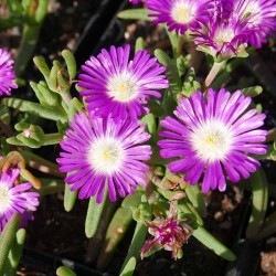 Delosperma ''Wonderful New Pink'', Mittagsblumen vom Yuccashop -