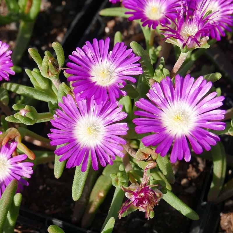 Delosperma ''Wonderful New Pink'', Mittagsblumen vom Yuccashop -