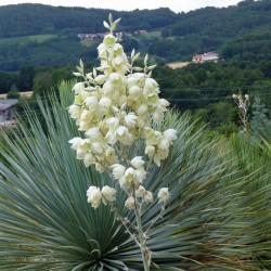 Yucca reverchonii, Palmlilien vom Yuccashop -