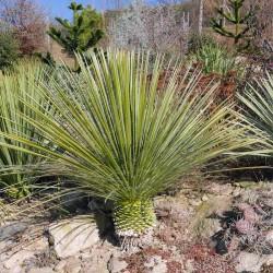 Yucca Hybride GG 040, Pflanzen für besondere Gärten, Yuccashop