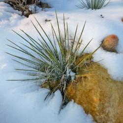 Yucca harrimaniae LZ 2070, Palmlilien vom Yuccashop -