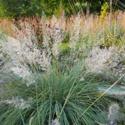 Muhlenbergia emersleyi, Bullen Gras vom Yuccashop -