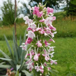 Morina longifolia, Kardendistel im Yuccashop kaufen -