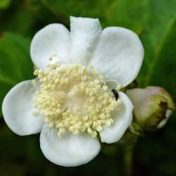 Deinanthe bifida, Scheinhortensie vom Yuccashop -