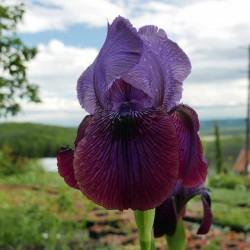 Iris ''Bodybuilder'' AB, Schwertlilien im Yuccashop kaufen -