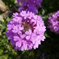 Glandularia 'Rose Queen' Verbenen vom Yuccashop -