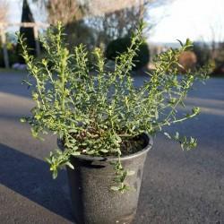 Ceanothus 'Concha', winterharte Säckelblume vom Yuccashop -
