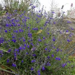 Salvia 'Blue Note', Strauchsalbei vom Yuccashop -