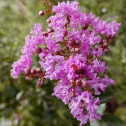 Lagerstroemia 'Lilac Grand Sud', Indischer Flieder vom Yuccashop -
