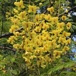 Caesalpinia decapetala var. japonica vom Yuccashop -