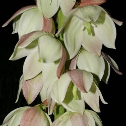 Yucca neomexicana JRT 251, Palmlilien vom Yuccashop -