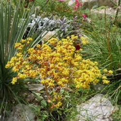Eriogonum allenii, Virginia-Wollknöterich im Yuccashop kaufen -