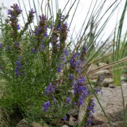 Hyssopus spec., Bienenkraut, Zwerg-Ysop, Yuccashop -