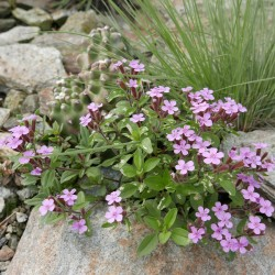 Saponaria x laeta Hybriden, Seifenkraut vom Yuccashop -