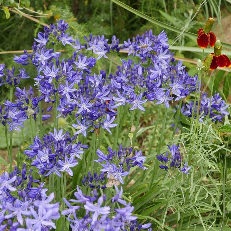 Agapanthus 'L'AMOUR D'ETE Bleu', winterharte Liebesblume vom Yuccashop -