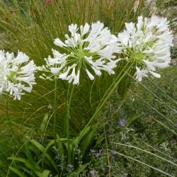 Agapanthus 'L'AMOUR D'ETE Blanc', winterharte Liebesblume vom Yuccashop -