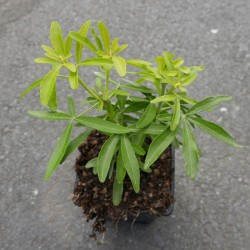 Choisya 'Goldstar', Orangenblüte vom Yuccashop -