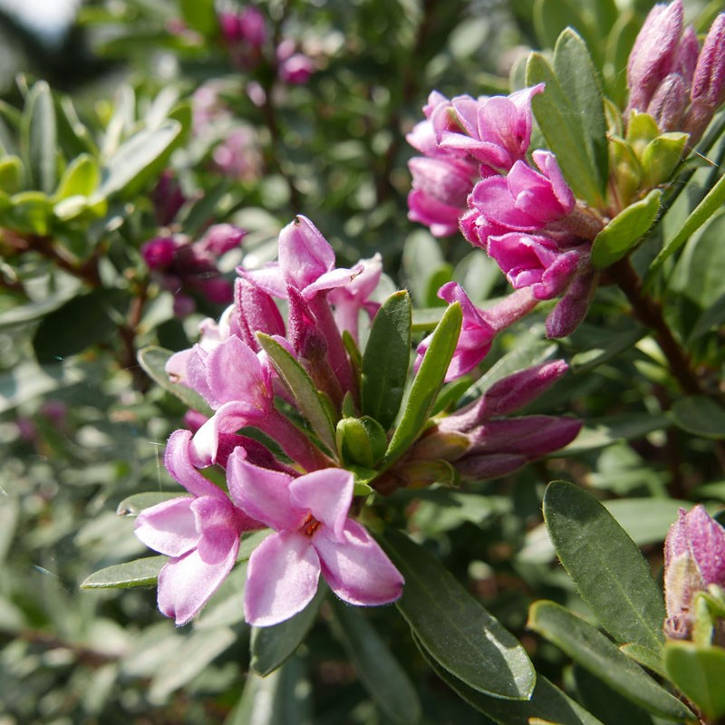 Daphne transatlantica 'Pink Fragrance', Seidelbast vom Yuccashop -