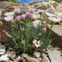 Erigeron compactus, Feinstrahlaster vom Yuccashop -