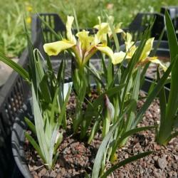 Iris humilis ssp. arenaria, Sandiris vom Yuccashop -
