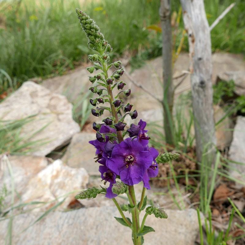 Verbascum phoeniceum, Lila Königskerze vom Yuccashop -
