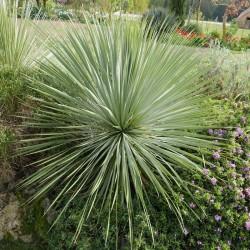 Yucca rostrata 'Sapphire Skies', Palmlilien vom Yuccashop -