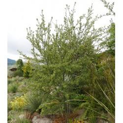 Cercocarpus betuloides, Gehölze vom Yuccashop -