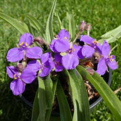 Tradescantia longipes 'Heidi' vom Yuccashop -