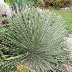 Yucca elata LZ 2077, Palmlilien vom Yuccashop -